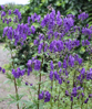 Picture of Aconitum henryi 'Spark'