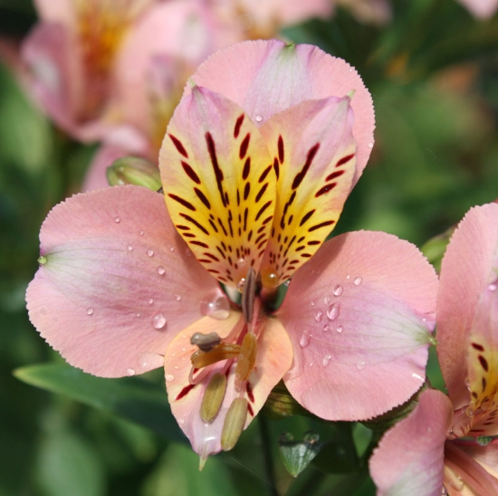 Picture of Alstroemeria Apricot [Butterscotch]