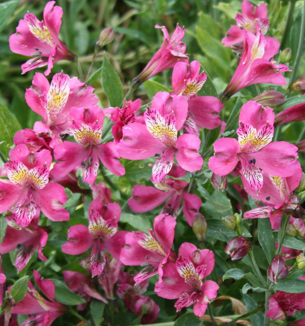 Picture of Alstroemeria Dark Pink