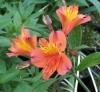 Picture of Alstroemeria Peachy Orange