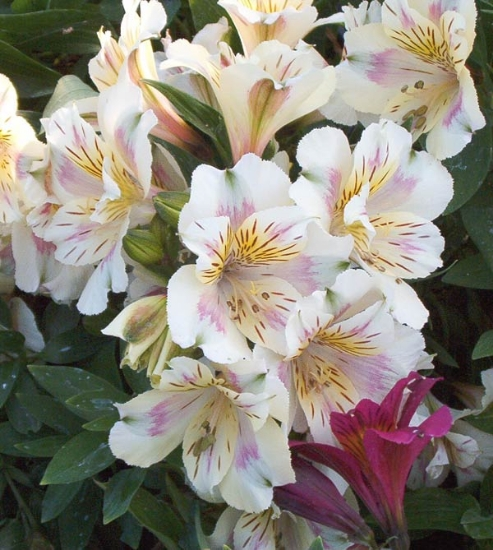 Picture of Alstroemeria Cream Low