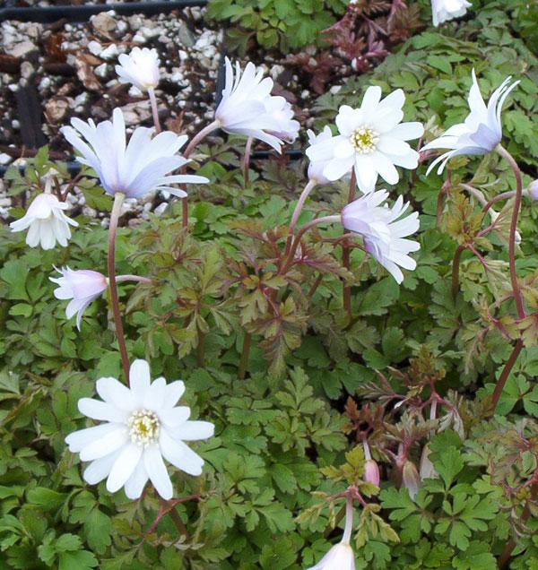 Picture of Anemone apennina 'Alba'