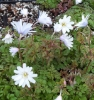 Picture of Anemone apennina 'Alba'