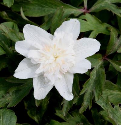 Picture of Anemone nemorosa 'Alba Plena'