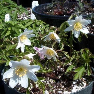 Picture of Anemone nemorosa 'Leed's Variety'