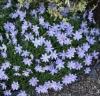Picture of Anemone nemorosa 'Royal Blue'