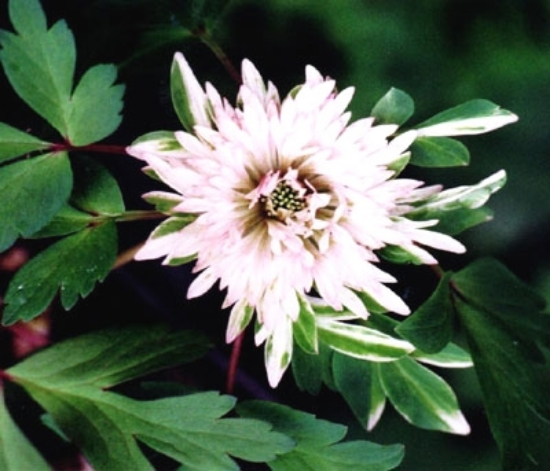 Picture of Anemone nemorosa 'Stammer Berg'