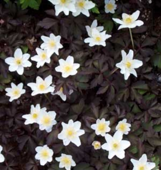 Picture of Anemone nemorosa 'Stars in the Night'
