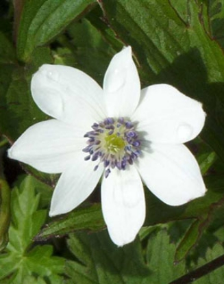 Picture of Anemone rivularis