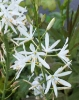 Picture of Anthericum liliago