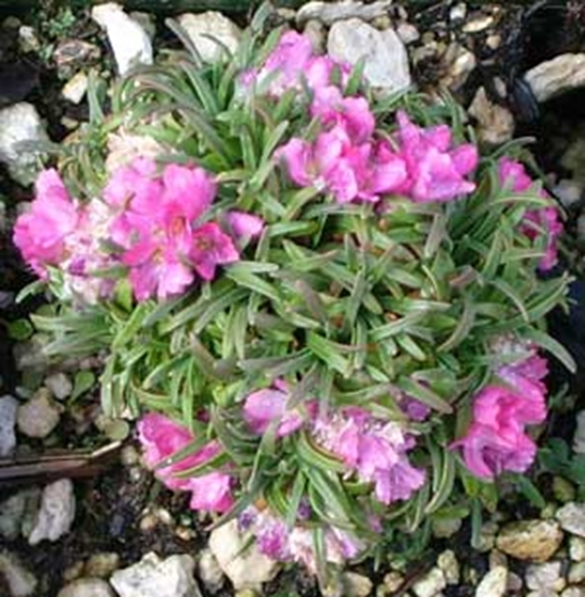 Picture of Armeria 'Little Penny'