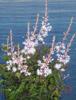 Picture of Astilbe glaberrima var. saxatilis