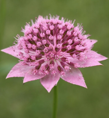 Picture of Astrantia maxima