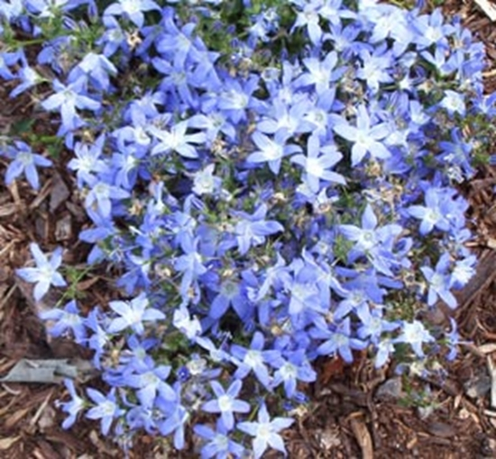Picture of Campanula poscharskyana 'Blue Gown'