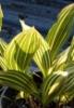 Picture of Convallaria majalis 'Albostriata'
