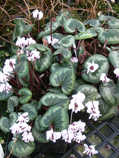 Picture of Cyclamen coum f. albissimum Marbled Leaf