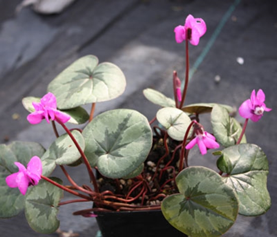 Picture of Cyclamen coum Marbled Leaf