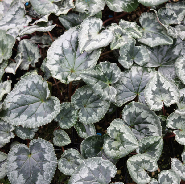 Picture of Cyclamen hederifolium