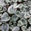 Picture of Cyclamen hederifolium