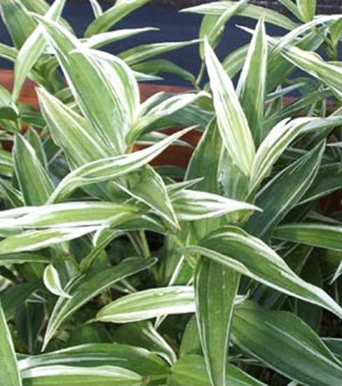 Picture of Disporum sessile 'Variegata'
