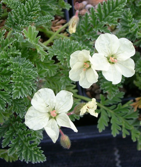 Picture of Erodium chrysanthum