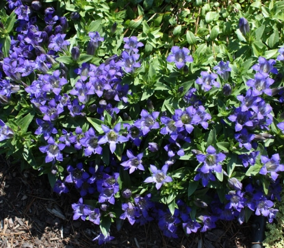 Picture of Gentiana septemfida var. lagodechiana 'Select'