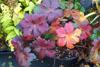 Picture of Geranium maculatum 'Vickie Lynn'
