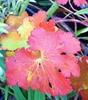 Picture of Geranium x magnificum 'Rosemoor'