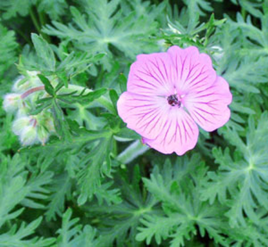 Picture of Geranium malviflorum 'Sweetheart'