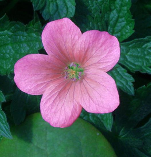 Picture of Geranium x oxonianum 'Wageningen'