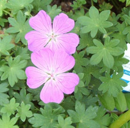 Picture of Geranium sanguineum 'Minutum'