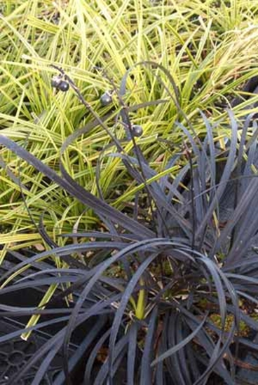 Picture of Ophiopogon planiscapus 'Nigrescens'