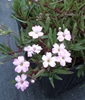 Picture of Gypsophila repens 'Red Neck'