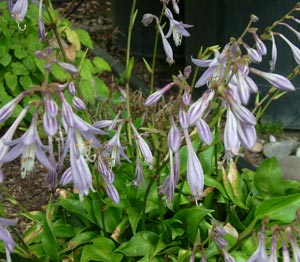 Picture of Hosta 'Shining Tot'