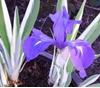 Picture of Iris laevigata 'Variegata'