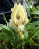 Picture of Iris suaveolens [I.mellita]