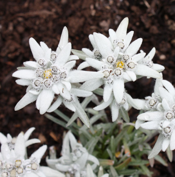 Picture of Leontopodium alpinum EDELWEISS