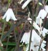Picture of Leucojum (Acis) autumnale