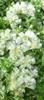Picture of Paronychia kapela ssp. serphyllifolia