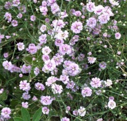Picture of Petrorhagia saxifraga 'Rosette'