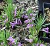 Picture of Polygonatum graminifolium