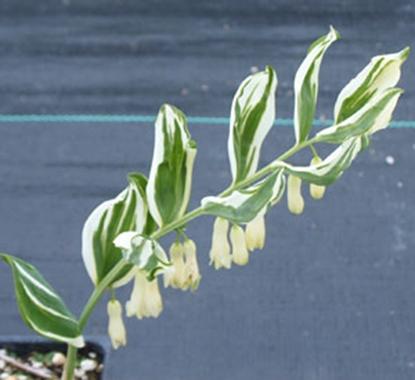 Picture of Polygonatum Hybrid 'Striatum'