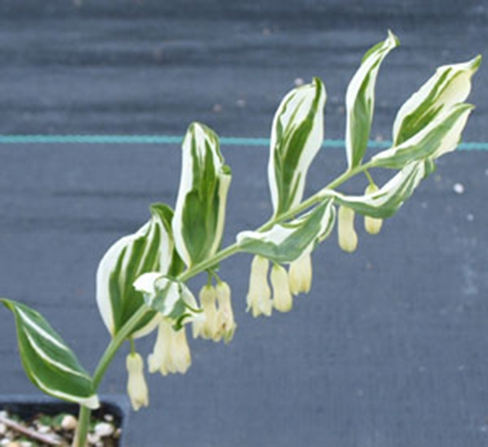 Picture of Polygonatum Hybrid 'Striatum'
