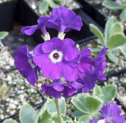Picture of Primula marginata 'Amethyst'
