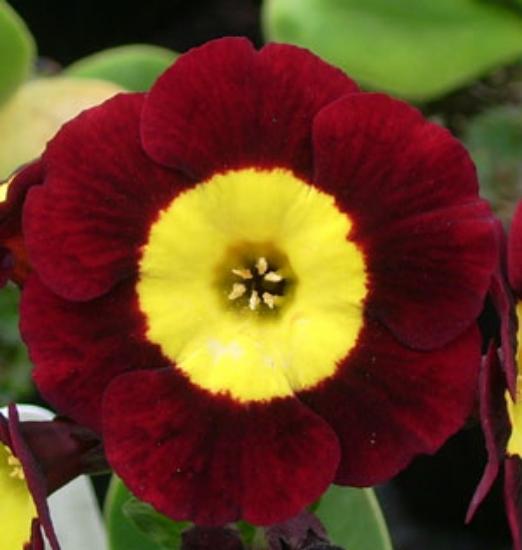 Picture of Primula auricula 'Vulcan'