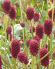 Picture of Sanguisorba officinalis 'Tanna'