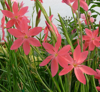 Picture of Schizostylis coccinea 'Zeal Salmon'