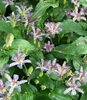Picture of Tricyrtis 'Empress'