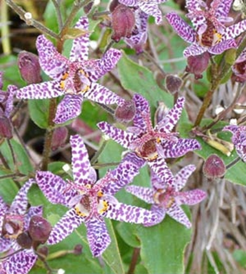 Picture of Tricyrtis maculata
