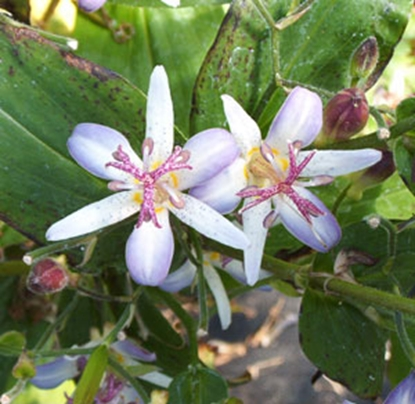Picture of Tricyrtis 'Tojen'